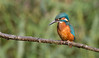 Panoramic Kingfisher (Andrew Haynes Wildlife Images) Tags: nature wildlife kingfisher coventry warwickshire brandonmarsh canon7d ajh2008