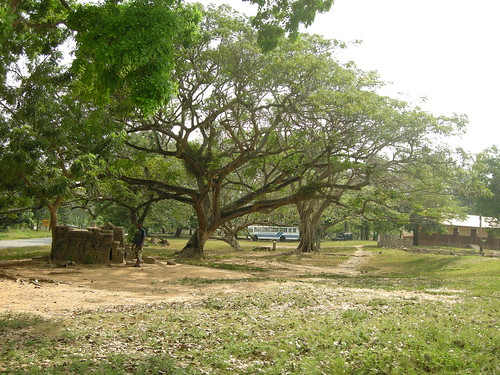 tree in Abutia village commons