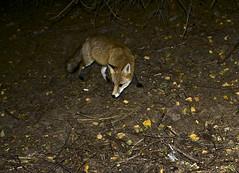 Red Fox shot by camera trap, Vitosha National Park, Bulgaria (vvpopov) Tags: animal mammal fox animalplanet redfox vulpesvulpes vulpes trailmaster cameratrap canon400d phototrap
