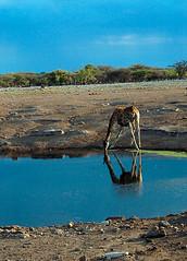 Giraffe Drinking 1