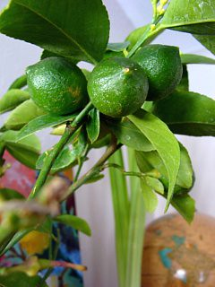 lemon tree small