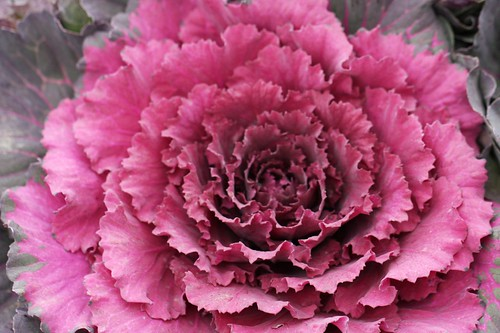 葉牡丹 / ornamental cabbage