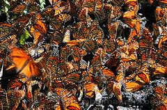 Monarch butterfly (Arturo Andrade / abaimagen.com) Tags: mexico monarch mariposa arturo andrade monarca monarcas abaimagen abaimagencom flybeatibul
