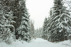 Jan 13, 2011; 13/365--Spruced Up (Loreen May Photography) Tags: road trees winter snow canada cold trail driveway alberta spruce project365 cans2s scenicsnotjustlandscapes project36612011