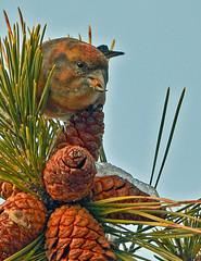 NJ: Red Crossbill Chewing the Cone (donna lynn) Tags: newjersey nj northshore sevenpresidentspark 2011 loxiacurvirostra crossbills redcrossbills winterbirding