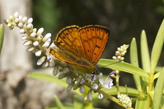 Common Copper Butterfly - Koromiko photos - Te Kopahou Reserve - Wellington New Zealand (Steve Attwood) Tags: newzealand canon wellington hebe koromiko hebestricta