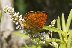 Common Copper Butterfly - Koromiko photos - Te Kopahou Reserve - Wellington New Zealand (Steve Attwood) Tags: newzealand canon wellington hebe koromiko hebestricta