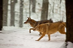 Coyotes running (Nature Pictures by ForestWander) Tags: winter snow nature wildlife running coyotes