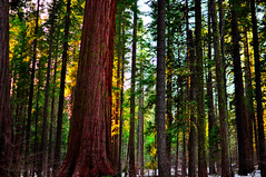 The Forest For the Trees (Ame Otoko) Tags: california trees light sunset forest 35mm photography nikon sierra redwood todd f18 sequoia calaveras bigtrees onone fong d90 toddfongphotography