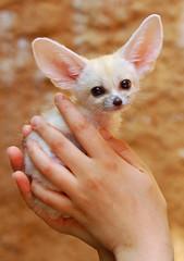 Fennec fox (floridapfe) Tags: baby cute animal zoo nikon hand korea fox fennec everland 에버랜드 fennecfox