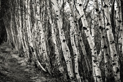 silvered birches (Nate Parker Photography) Tags: blackandwhite bw monochrome path maine birch acadianationalpark gobruins greatmeadow niksilverefex