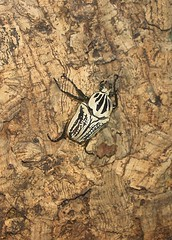 Goliath Beetle (Bogger3. Off Line) Tags: goliathbeetle stratforduponavon butterflyfarm oneofthelargestbeetles 43incheslong africanjungle coth5