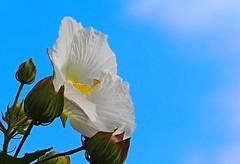 Hibiscus mutabilis (eriko_jpn) Tags: bluesky whiteflower hibiscusmutabilis