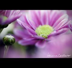 pra não dizer que não falei das flores (Adriana Casellato) Tags: flowers flower macro canon dof natureza flor foco 105mm flres adrianacasellato