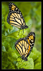 "MONARCH BUTTERFLY ""ITS A COLOURFUL LIFE"" (Gib Rock Photography) Tags: orange leaves gardens canon butterfly insect geotagged botanical eos born fly leaf wings legs body ngc butterflies butter monarch flies 1855mm alameda efs positively canon botanical gardens david 1855mm mywinners eos eos reyes butterflies platinumheartaward efs butterfly monarch 1000d gibraltar 1000d mygearandmepremium mygearandmebronze mygearandmesilver mygearandmegold exposed blinksuperstars"
