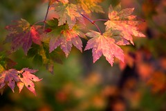 Multi Color Fall (jasohill) Tags: autumn red green fall colors leaves yellow japan photography japanese purple iwate    changes   tohoku touhoku   fotocompetition fotocompetitionbronze