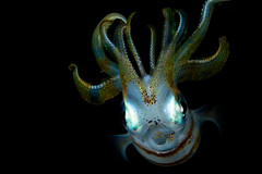 Squid! (kozyndan) Tags: macro indonesia underwater jetty scuba diving squid ambon