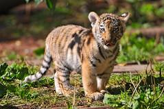 [フリー画像] 動物, 哺乳類, ネコ科, 虎・トラ, 201012031100