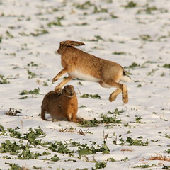 Air hare (trickydicky1964) Tags: winter brown snow nature countryside inflight hare frost north norfolk mammals 2010 hares europaeus lepus canon450d sigma150500mmf563dgoshsm glavenvalley trickydicky1964