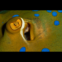 Blue spotted stingray detail (Martin-Klein) Tags: blue portrait macro underwater diving naamabay