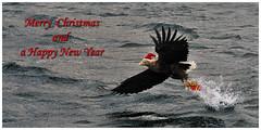 Merry Christmas and a Happy New Year (fotouwe) Tags: christmas xmas bird norway wings eagle postcard natur baldeagle norwegen newyear weihnachtsmann greetings merrychristmas weihnachtskarte lofoten vogel postkarte nikolausmtze raftsund weihnachtskarten christmasgreetings zipfelmtze seeadler greetincard neujahrswnsche weiskopfseeadler fotouwe d700 funkarte weihnachtsgrse gruskarte gruskarten meiervision geschenkpckchen whiteheadeteagle