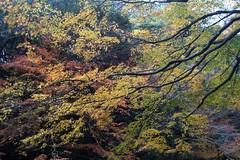 粟又の滝 自然遊歩道の紅葉