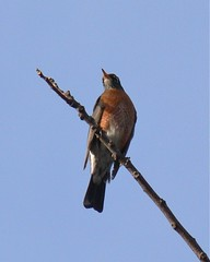 American Robin Male