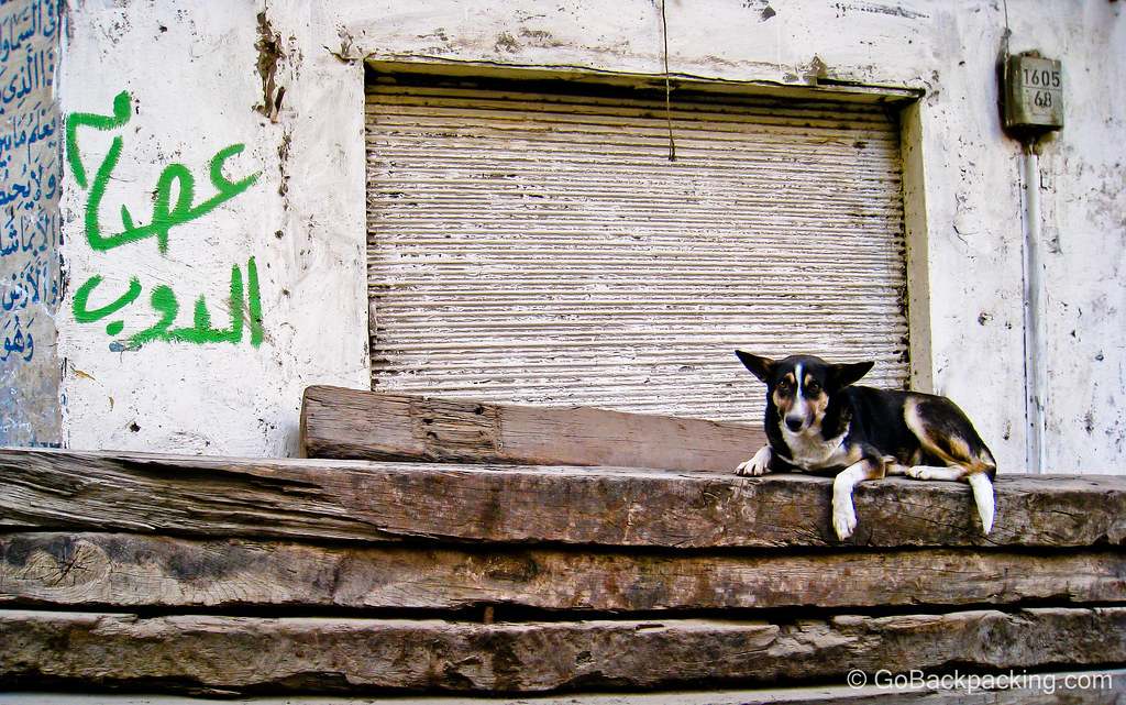 Dog in Old Islamic Cairo, Egypt