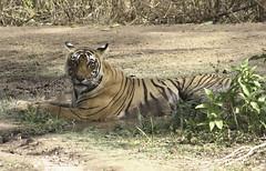T17 aka Sundari (Enchanted wanderer) Tags: tiger ranthambhore ranthambhorenationalpark t17 royalbengaltiger
