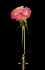 ✿ Rose ✿ (Halah Al-yousef     ) Tags: flower macro rose canon 100mm 2010 وردة ورود صورة صوره تصوير halah ورده هاله اسود اخضر قطرات ماكرو كانون ذهبي كريستال زهري مايكرو اليوسف alyousef