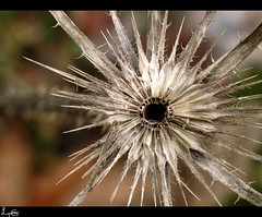 Starburst Thistle (flosspot) Tags: abstract macro circle spiky star pattern hole thistle round dried shape spikes starburst pointed canong10 storybookchallengewinner lynettecoates
