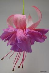 Fuchsia 'Naughty Nicole' (pennyeast) Tags: flower botanical fuchsia capetown papaalphaecho