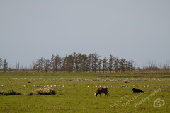 _MG_2536.jpg (WHaselbarg) Tags: nature animals wildlife nederland thenetherlands natuur dieren flevoland wildanimals oostvaardersplassen wildedieren heckrunderen wildcows wildekoeien workshopvanstevenruiter