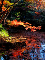 Autumn Leaves Reflection (_takau99) Tags: trip travel vacation holiday reflection topv111 japan gardens pen garden tokyo japanesegarden pond december olympus topv222 autumnleaves   sengoku 2010 rikugien   komagome   takau99 penlite   rikugiengardens epl1  gettyimagesjapanq1