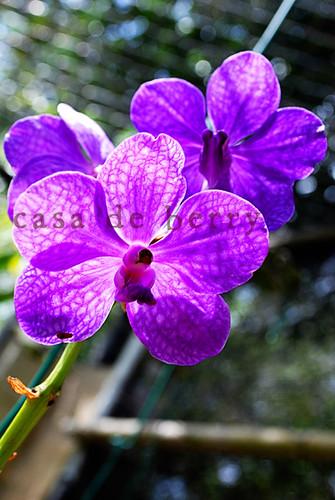 orchids9 copy