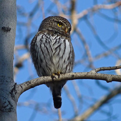 Northern Pygmy-owl (annkelliott) Tags: canada calgary bird nature beautiful birds lumix intense branch raptor alberta tiny owl pointandshoot perched ornithology squarecrop birdofprey intensity frontview perching fishcreekpark naturesfinest thenatureconservancy northernpygmyowl beautyinnature southernalberta allrightsreserved glaucidiumgnoma beautifulexpression annkelliott fistsized fz35 dmcfz35 panasonicdmcfz35 anneelliott2010 popcansized votiersflatsbebogrove p1230405fz35 leapfrogshats