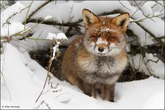 Fox hiding in the snow (Alex Verweij) Tags: winter snow holland nature netherlands canon hole sneeuw natuur fox 7d hol vos potofgold wildnature abigfave reintje reinaert natureselegantshots alexverweij panoramafotogrfico mygearandmepremium 18dec2010 pog1animalden pogwtelite