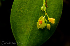 Lepanthes erinacea