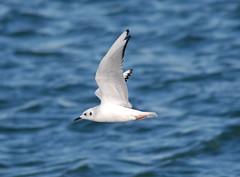 Bonaparte's Gull (Billtacular) Tags: winter bird nature outdoors newjersey wildlife birding nj birdwatching atlanticocean thewonderfulworldofbirds