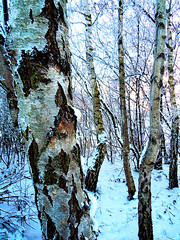 Day 216 20th December 2010 Snowy Birch Texture (Chris Willis 10) Tags: trees sky snow simon warrington sait simonsait