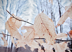 winter leaves (Shandi-lee) Tags: blue trees winter white canada cold leaves treesilhouette beige december branch delicate neutral