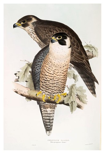 008-Halcon peregrino- The birds of Europe Tomo I-1837- John Gould