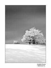 Snowy tree (garrellmillhouse) Tags: winter blackandwhite snow tree landscape scotland kilsyth colzium