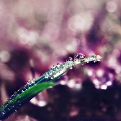 A Dream Meadow Revisited (Tanjica Perovic Photography) Tags: pink detail macro green nature water beautiful beauty grass garden square photography droplets drops fotograf photographer purple bokeh sparkle squareformat dreamy pinkandgreen  srpski sigma1770mm fotografija  canoneos400d  strangecolourcombination  tanjicaperovicphotography