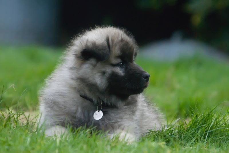 the worlds best photos of eurasier and wolf flickr hive