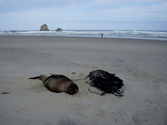 Sandfly Bay (kattabrained) Tags: arctocephalusforster seal sandflybay dunedin