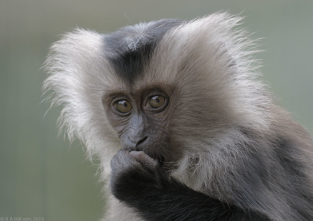 Встоличном зоопарке родился детеныш львинохвостой макаки