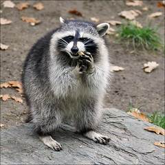 Raccoon (Foto Martien (thanks for over 2.000.000 views)) Tags: usa canada japan germany mexico zoo costarica europe unitedstates guatemala belize cologne honduras kln coon nicaragua elsalvador panama raccoon racoon centralasia duitsland procyonlotor dierentuin keulen dierenpark waschbr klnerzoo wasbeer schupp commonraccoon northernraccoon gewonewasbeer nordamerikanischerwaschbr duitschland a550 mapacheboreal northamericanraccoon northandcentralamerica martienuiterweerd ratonlaveurcommun martienarnhem sony70300gssmlens sonyalpha550 martienholland fotomartien aktiengesellschaftcolognezoologicalgarden zooofcologne zoologischegartenkln ringtailedraccoon zorramanglera gatomanglatero