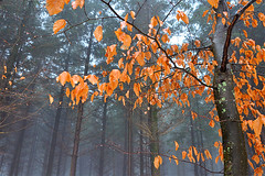 Beekhuizerzand (Arthur Koek) Tags: trees winter mist nature leaves fog forest branches thenetherlands harderwijk veluwe gelderland beekhuizerzand