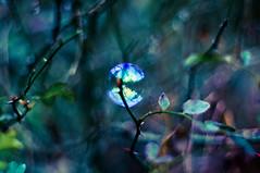 Epines... (__AK__) Tags: blue winter green rose purple hiver violet vert bleu reflet bubble feuille bulle épineux bokek buisson épines ronce